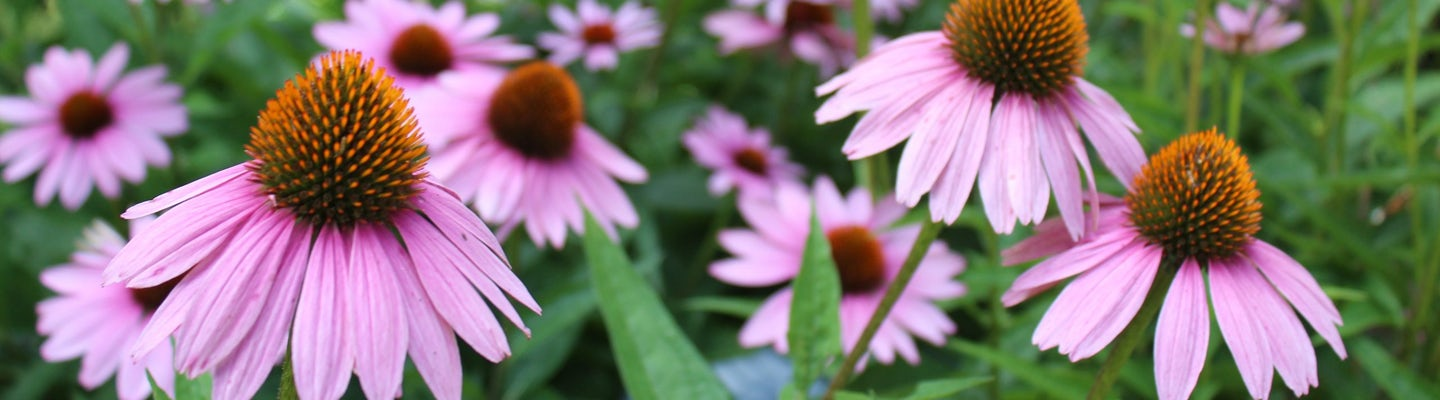 Let's make echinacea extract
